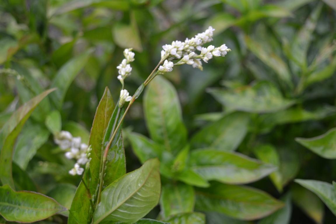 indigoflower